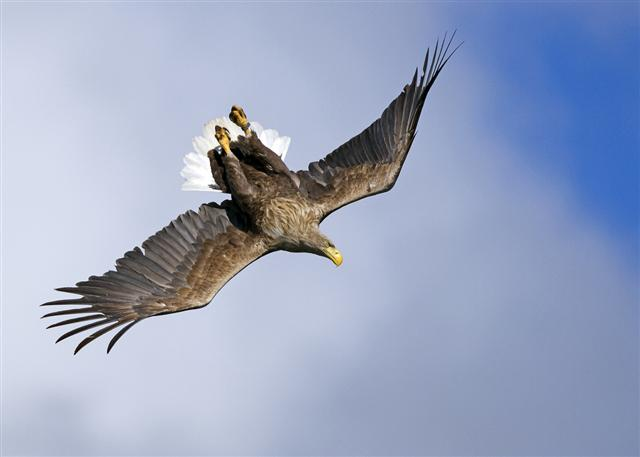 white tailed eagle photography Mull